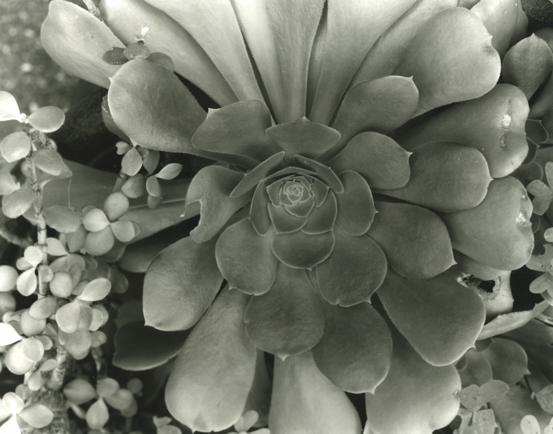Close-up test image, Aeonium, approximately life size on the negative.